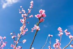 De rijpende kers komt op een boom tot bloei tegen de achtergrond van een blauw, de lentehemel stock foto