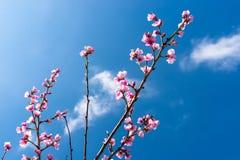 De rijpende kers komt op een boom tot bloei tegen de achtergrond van een blauw, de lentehemel royalty-vrije stock foto