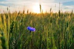 de rijpende rogge van het korenbloemgebied Stock Foto