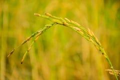 De rijst is belangrijk voor het leven Stock Foto's