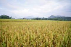 De rijst flied in Thailand Royalty-vrije Stock Afbeeldingen