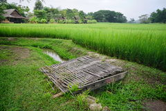 De rijst flied in Thailand Stock Afbeeldingen