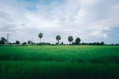 De rijst flied in Thailand met drie suikerpalm royalty-vrije stock afbeelding