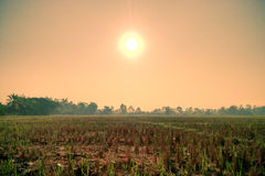 De rijst groeit Royalty-vrije Stock Foto's