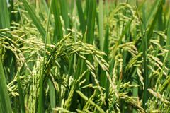 De rijst groeit Stock Foto