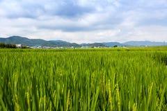 De rijst groeit op een padiegebied in de laaglanden dichtbij Arashiyama, Japan stock foto