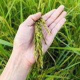De rijst van de close-up op hand omhoog in padie Stock Foto