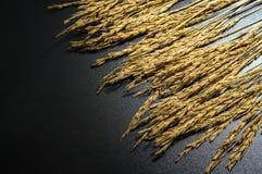 De rijst van de padiejasmijn op donkere achtergrond met hard licht Stock Foto's