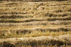 De rijst van het Havestedgebied backgroud Royalty-vrije Stock Afbeeldingen