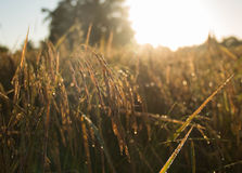 De rijst van padiejusmine met zonsopgang Stock Fotografie
