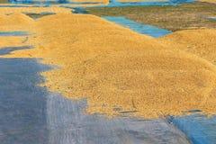 De rijst wordt geoogst en op de zon voorbereid Stock Foto