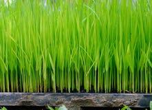 De rijstgroei in de onderzoekplaat Royalty-vrije Stock Afbeeldingen