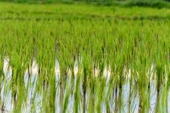 De rijstinstallaties groeien Royalty-vrije Stock Afbeeldingen