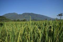 De rijstinstallaties zijn dicht Royalty-vrije Stock Foto's