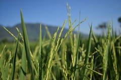 De rijstinstallaties zijn dicht op de gebieden Stock Foto's