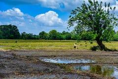 De rijstlandbouw in sri lanks bemant het werken in rijstlandbouwbedrijf met groene boom en padievelden stock foto