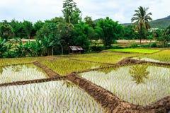 De rijstlandbouwbedrijf van Thailand Stock Foto's