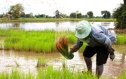 De rijstlandbouwers trekken de zaailingen aan het overplanten terug Stock Afbeelding