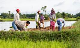 De rijstlandbouwers werken op de gebieden in Kambodja Royalty-vrije Stock Afbeeldingen