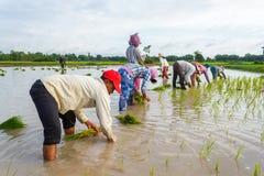 De rijstlandbouwers werken op de gebieden in Kambodja samen Stock Afbeeldingen