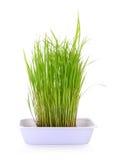 De rijstspruiten in witte plastic pot isoleren op wit royalty-vrije stock afbeeldingen