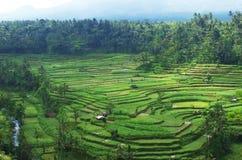 De rijstterrassen van Bali Stock Foto's