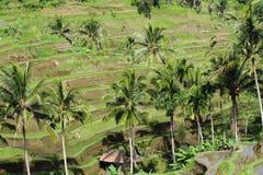 De rijstterrassen van Bali, Indonesië Royalty-vrije Stock Fotografie