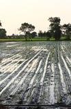 De rijstzaailingen van de transplantatie Stock Afbeelding