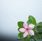 De rimpeling van de bloem en van het water Stock Afbeeldingen