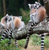 De ring taled lamurs Royalty-vrije Stock Foto's