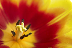De ring van de tulp stock foto's