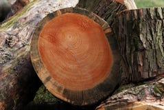 De ringen van de boom Stock Afbeeldingen