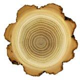 De ringen van de groei van acaciaboom - dwarsdoorsnede Stock Afbeeldingen