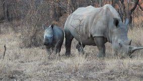 De Rinoceros en de Moeder van de baby stock video