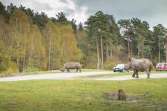 De rinoceros gaat op weidegang royalty-vrije stock foto