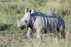 De rinoceros van de baby Royalty-vrije Stock Foto's