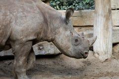 De rinoceros van het puppy Stock Fotografie
