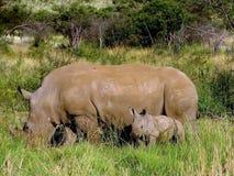 De rinoceroskoe en een kleine rinoceros royalty-vrije stock afbeeldingen