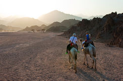 De rit van de kameel Royalty-vrije Stock Afbeeldingen