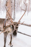De Rit van de rendierar in Lapland Stock Afbeeldingen