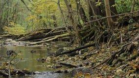 De rivier stroomt tussen de wortels van bomen en stenen stock video