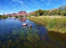 De Rivier & x28 van wild paarden @ Salr; Rio Salado & x29; Arizona Stock Afbeelding
