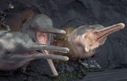 De rivierdolfijnen van Amazonië Stock Fotografie