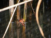 De rivierkreeften van Procambarusclarkii, die zich aan riet in het Italiaans vastklampen waterweg Zodra huisdieren, van de wilder royalty-vrije stock foto