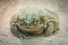 De Rivierpad van Colorado (Bufo Alvarius) Royalty-vrije Stock Afbeeldingen