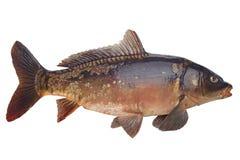 De riviervissen van de spiegelkarper Stock Afbeeldingen