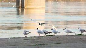 De rivierzeemeeuwen die van Donau en zich rond oever vliegen bewegen stock footage