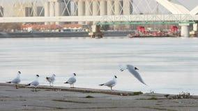 De rivierzeemeeuwen die van Donau en zich rond oever vliegen bewegen stock video