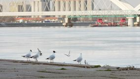 De rivierzeemeeuwen die van Donau en zich rond oever vliegen bewegen stock videobeelden