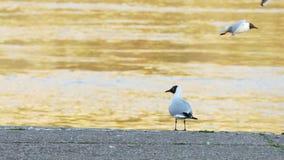De rivierzeemeeuwen die van Donau en zich rond oever in zonsondergang vliegen bewegen stock footage
